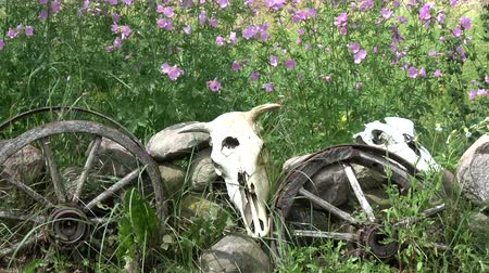 запомнить : Domestic animals skulls on stones, horse carriage wheels and garden flowers in wind