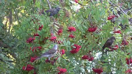 szpak : Wild birds Fieldfare Turdus pilaris and starlings Sturnus vulgaris eating rowan berries on autumn tree