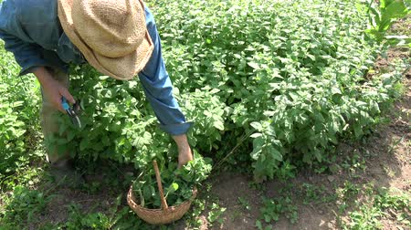 Gardener farmer herbalist picking harvesting fresh mint  herbs 動画素材