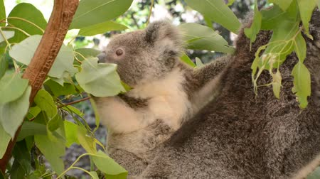 Baby koala on her mother back eating eucalyptus leaves.