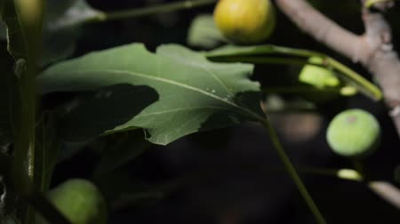 fig fruit on a tree in the garden swinging in the wind. Camera zoom Stock Footage