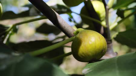Ripe green figs on a branch in the garden swinging in the wind. Stock Footage