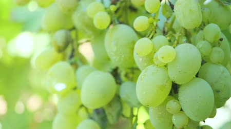 White ripe grapes in the garden on a branch swaying in the wind