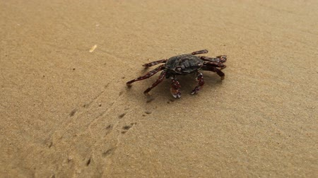 crustáceo : Big crab crawling along the sandy beach leaving behind footprints in the sand