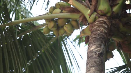 palmarum : Indian rat-squirrel sit on green palm tree about coconuts and eat something and escapes from the frame