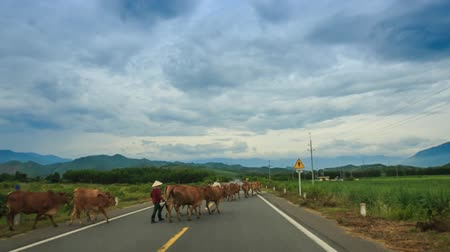 onto : camera goes fast along road past countryside and herd of cows moves onto road with hills on horizon