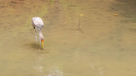 sandhill crane : Sandhill Crane stands drinks and searches food in shallow pond water in park Stock Footage