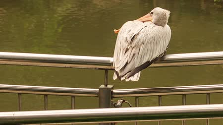 zadnice : closeup backside view large white pelican sits on metal bridge rail over water turns head with large bill in park