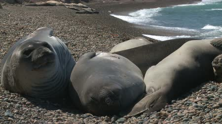 rookery : Seal rookery on coastline of Atlantic Ocean.  Patagonia, Argentina Stock Footage