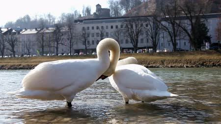 güneş ışını : White swans in the city park