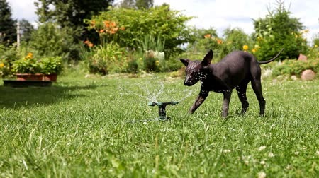 evcil hayvanlar : Mexican xoloitzcuintle puppy plays with the water sprinkler