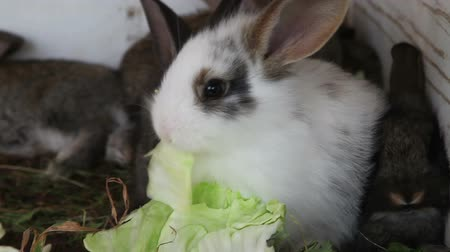 coelho : White bunny with brown spots eating a cabbage leaf Vídeos