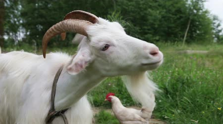 dairy animal : Close up of white nanny goat in countryside