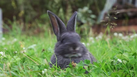 coelho : Grey bunny sitting in a grass, closeup