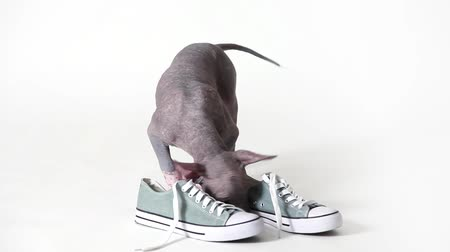 ayakkabı : Mexican xoloitzcuintle puppy dog chewing on shoes