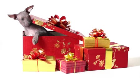 animais e animais de estimação : Mexican xoloitzcuintle puppy dog get out from a gift box