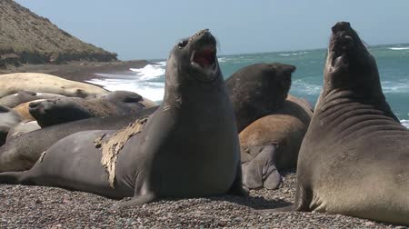 rookery : Two male fur seals fighting. Punta Ninfas place, Argentina