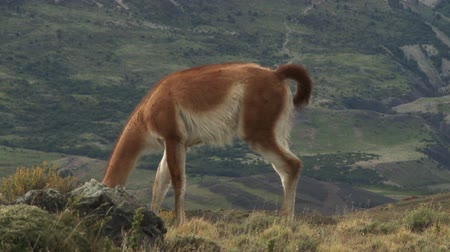 Патагония : Guanaco in Torres del Paine National Park, Patagonia, Chile Стоковые видеозаписи