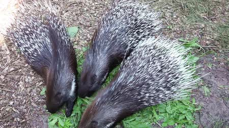 prickly : Three porcupine eating green grass in zoo Stock Footage