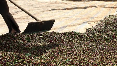 picked up : Vietnamese farmer with a shovel rake coffee beans for drying in the sun