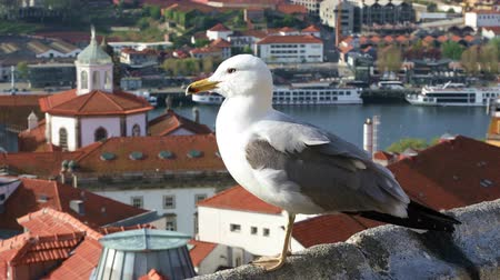 portugalsko : Sea gull sitting on the parapet on the background of the old Porto city, Portugal