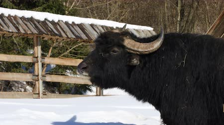 horned : Black African Buffalo standing in the paddock on the farm in winter Stock Footage