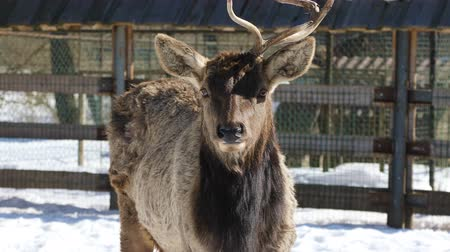 deer : Sika deer with one horn stands in the middle of the paddock on the farm in winter