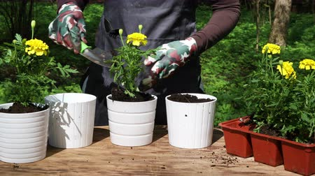 kertészeti : Woman or gardener hands planting  yellow marigolds to flower pots outdoors