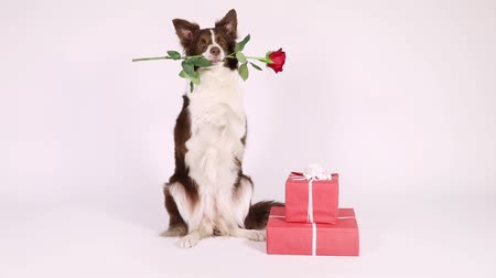 hind : Funny Border Collie dog sitting up on her hind legs  on a white background, next to holiday gifts, she has a red rose in her mouth