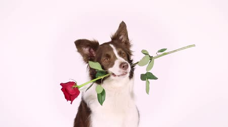 trained : Portrait of Border Collie dog on a white background, she has a red rose in her mouth Stock Footage