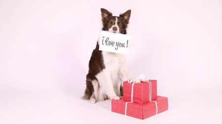 i love you : Lovely Collie border dog sits on a white background next to holiday gifts and faithfully looks into the camera in her teeth card with the inscription I love you