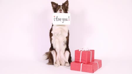 hind : Beautiful Collie border dog sitting up on her hind legs  next to holiday gifts in her teeth card with the inscription I love you Stock Footage