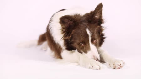 hound : Portrait of Collie border dog, three years old, lying  in front of white background
