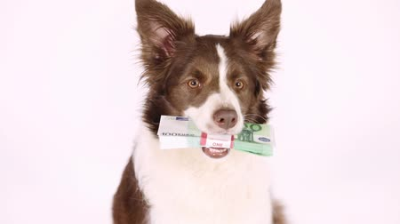 euro banknotes : Collie border dog faithfully looks into the camera in her teeth the stack of bills one hundred Euro on a white background