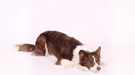 язык : Lovely brown and white color Border Collie dog performs the command  bow  on a white background