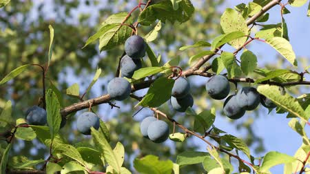 ripen : Branch with ripe plums in the orchard closeup
