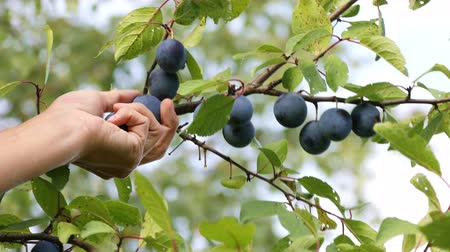 leafs : Harvesting of ripe plums on the farm, the female hand gathering  plums from the tree in orchard on a sunny autumn day
