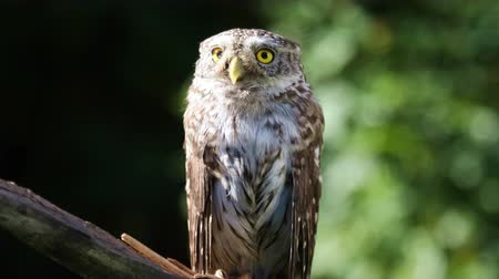 hunter : Little owl sitting on a branch in the forest on a sunny summer day