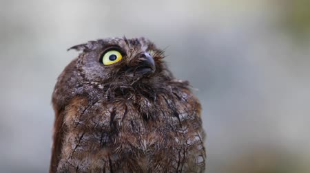 ornitologie : The owl looks at the camera and then something scares her. Eurasian (European) scops owl  in its natural forest habitat, closeup
