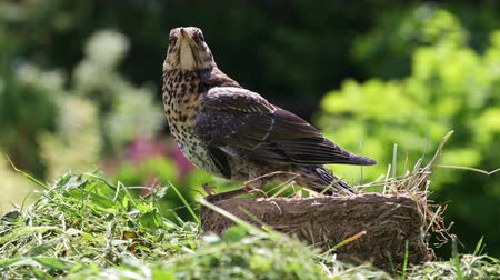 Nestling thrush fieldfare sitting on the edge of the nest in the natural environment on a sunny summer day
