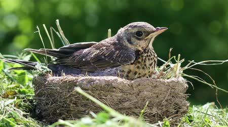 Nestling thrush Fieldfare sitting in a nest against the background of the surrounding nature on a sunny summer day