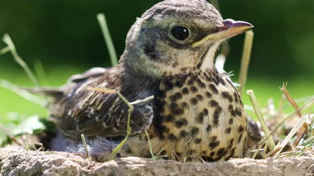 Nestling thrush Fieldfare sitting in a nest in the natural environment on a sunny summer day Стоковые видеозаписи