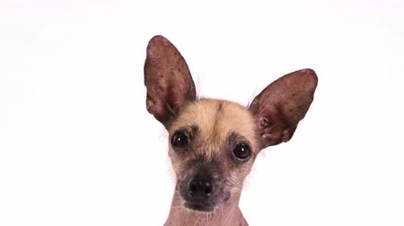 Portrait of a cute Xoloitzcuintli dog on white background