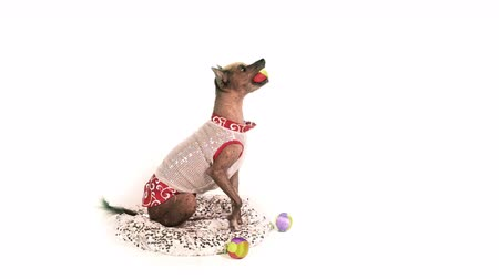 Xoloitzcuintli dog catches balls with his mouth then stands up on his hind legs and looking at the camera on white background