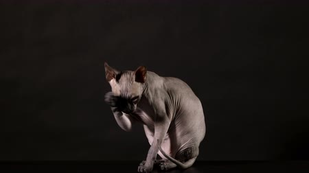 Cat breed canadian Sphinx washes her face on a black background Стоковые видеозаписи