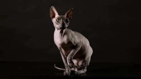 Cat breed canadian Sphinx looks around on a black background