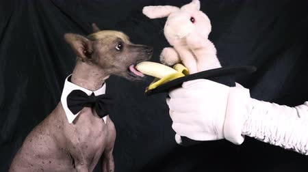 Toy Bunny sitting in a magicians hat feeding a banana to a dog (Xoloitzcuintle breed) on black background