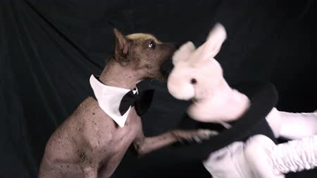 Xoloitzcuintli dog is playing with a toy rabbit sitting in a magician hat on black background