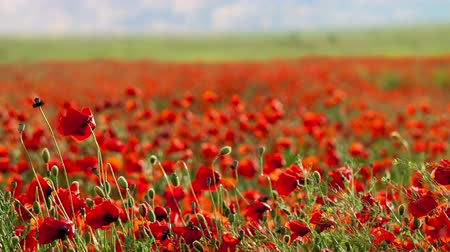 haşhaş : Red poppies swaying in the wind