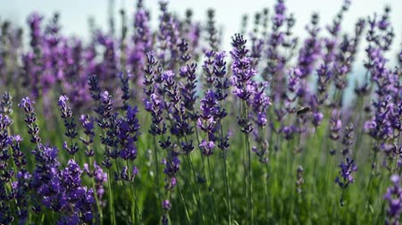 levandule : Flowering sprigs of lavender swaying in the wind